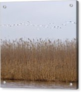 White Pelicans Fly Over Reed Bed On Lake  Acrylic Print