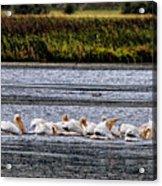White Pelicans Kootenay Lake Acrylic Print