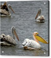 White Pelicans On Lake  Acrylic Print
