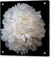 White Peony Flower Acrylic Print