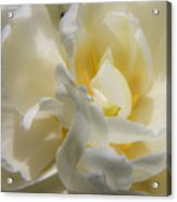White Peony Tulip Detail Acrylic Print