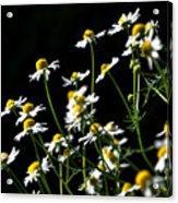 White Petals Acrylic Print
