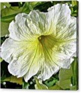 White Petunia - Solanaceae Acrylic Print