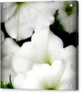 White Petunias 2 Acrylic Print