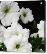 White Petunias Acrylic Print