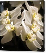 White Phalaenopsis Blossom Acrylic Print