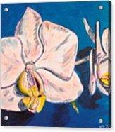 White Phalaenopsis Orchids Acrylic Print