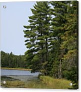 White Pines Acrylic Print