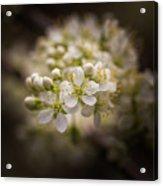 White Plum Blossom- 2 Acrylic Print