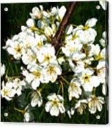 White Plum Blossoms Acrylic Print