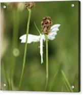 White Plume Moth, Acrylic Print