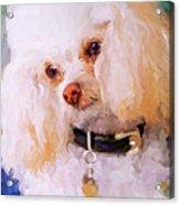 White Poodle Acrylic Print by Jai Johnson