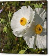 White Poppy Twins Acrylic Print