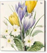 White Primroses And Early Hybrid Crocuses Acrylic Print