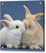 White Rabbit And Sandy Rabbit Acrylic Print