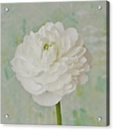 White Ranunculus Acrylic Print