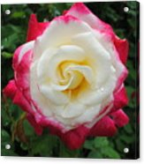 White Red Rose Acrylic Print