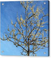 White Redbud Tree In May Acrylic Print