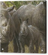 White Rhino Family - The Face That Only A Mother Could Love Acrylic Print