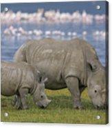 White Rhino Mother And Calf Grazing Acrylic Print by Ingo Arndt