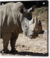 White Rhino Acrylic Print