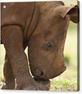White Rhinoceros Ceratotherium Simum Acrylic Print by Matthias Breiter