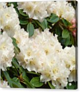White Rhodies Landscape Floral Art Prints Canvas Baslee Troutman Acrylic Print
