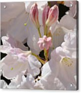 White Rhodies Pink Rhododendrons Flowers Art Prints Canvas Botanical Baslee Troutman Acrylic Print