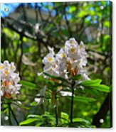 White Rhododendron Blooms Acrylic Print