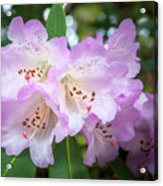 White Rhododendron Flowers With A Purple Fringe Acrylic Print