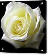 White Rose-11 Acrylic Print