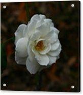 White Rose 209 Acrylic Print