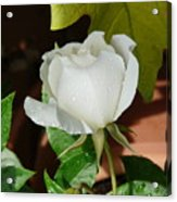 White Rose After Rain 1 Acrylic Print