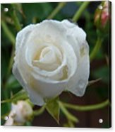 White Rose After Rain 2 Acrylic Print