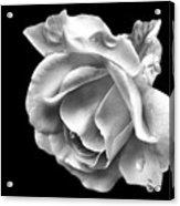 White Rose Aglow Acrylic Print