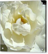 White Rose Art Prints Summer Sunlit Roses Baslee Troutman Acrylic Print
