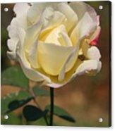 White Rose Acrylic Print by Donald Tusa