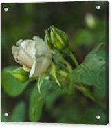 White Rose II Acrylic Print