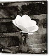 White Rose In Black And White Acrylic Print