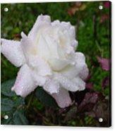 White Rose In Rain Acrylic Print