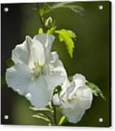 White Rose Of Sharon Squared Acrylic Print