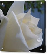 White Rose With Dew Drops Acrylic Print