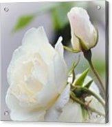 white Roses -2- Acrylic Print