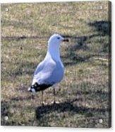 White Seagull Acrylic Print