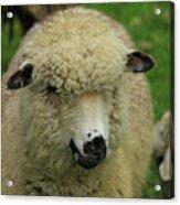 White Sheep Acrylic Print