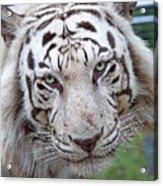 White Siberian Tiger Acrylic Print