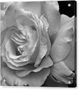 White Simplicity Rose Macro Acrylic Print