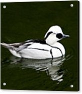 White Smew  Duck On Silver Pond Acrylic Print