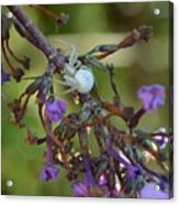 White Spider In Butterfly Bush Acrylic Print