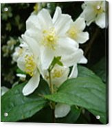 White Spring Blossom Acrylic Print